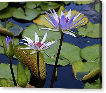 Canvas Print featuring the photograph Lily Trio by Judy Vincent