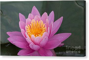 Lily Up Close Canvas Print