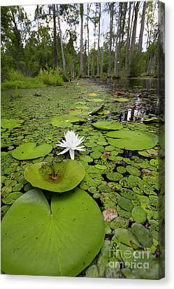 Lilypads And Flower In The Cypress Swamp Canvas Print by Dustin K Ryan