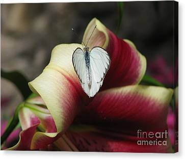 Lily's Lover Canvas Print by Misha Bean