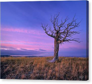 Limber Pine Canvas Print by Leland D Howard