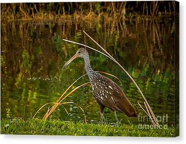 Limpkin At Water's Edge Canvas Print by Tom Claud