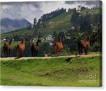 Line-dancing Llamas At Ingapirca Canvas Print by Al Bourassa