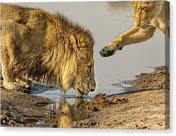 Lioness Canvas Print - Lion Affection by Kay Brewer
