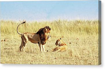 Lion And Lioness Looking At Each Other In Africa Canvas Print