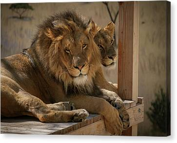 Lion And Lioness Canvas Print by Mary Lee Dereske