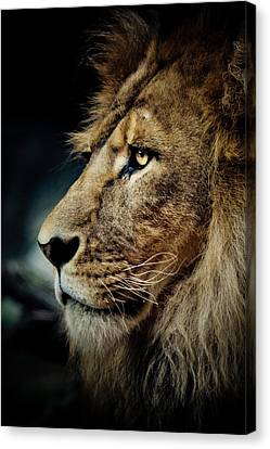 Lion Canvas Print by Animus Photography