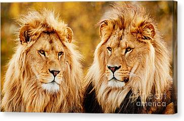 Lion Brothers  Canvas Print