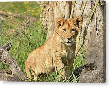 Lion Cub 2 Canvas Print by Marv Vandehey
