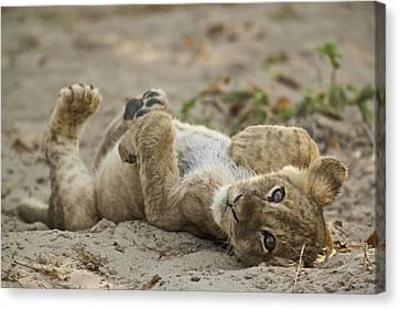 Lion Cub Canvas Print by Johan Elzenga