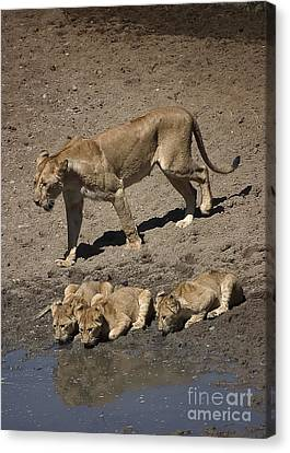 Lion Cubs And Mom Get A Drink Canvas Print