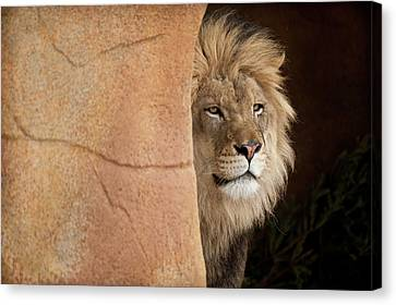 Lion Emerging    Captive Canvas Print by Steve Gadomski
