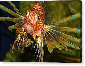Lion Fish 2 Canvas Print by Kathryn Meyer