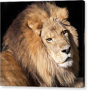 Lion Highlights Canvas Print by Kenneth Albin