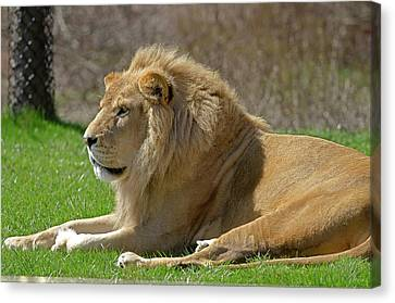 Canvas Print featuring the photograph Lion by JT Lewis