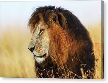 Lion King Notch In Masai Mara Canvas Print
