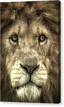 Canvas Print featuring the photograph Lion Portrait by Chris Boulton