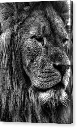 Lion Portrait Canvas Print by Martin Newman