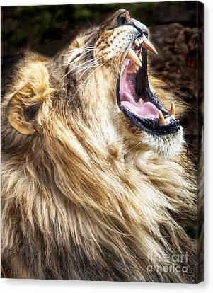 Lion Canvas Print - Lion Roar by David Millenheft
