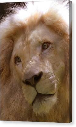 Lion Sad Eyes Canvas Print by Marlana Holsten