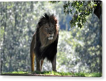 Lion Series 3 Canvas Print by Teresa Blanton