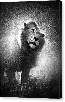 Sepia Tone Canvas Print - Lion Shaking Off Water by Johan Swanepoel