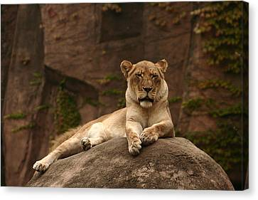 Lioness Canvas Print by B Rossitto