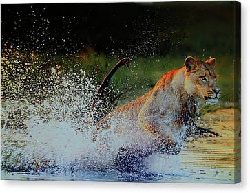 Lioness In Motion Canvas Print