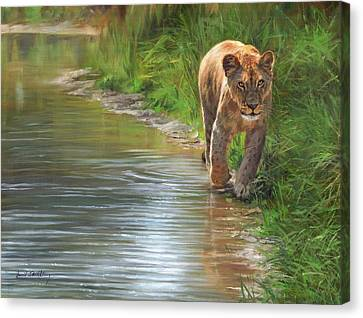 Lioness. Water's Edge Canvas Print by David Stribbling