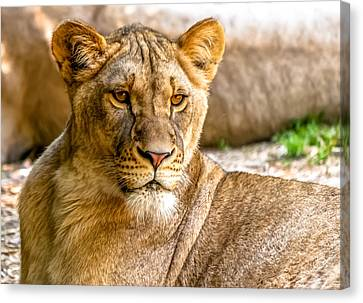 Lioness Canvas Print by Wayne King