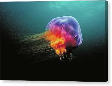 Lions Mane Cyanea Capillata Jellyfish Canvas Print by Scott Leslie