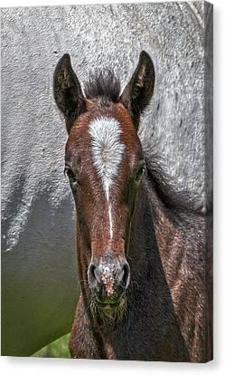 Canvas Print featuring the photograph Lipizzan Horses #2 by Stuart Litoff