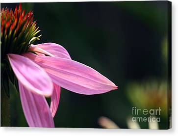 Lips On A Purple Coneflower Canvas Print by Steve Augustin