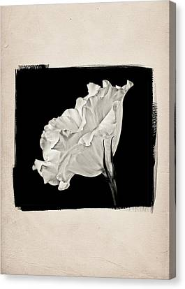 Lisianthus Flower A Canvas Print by Patrick Chuprina