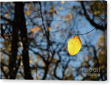 Canvas Print featuring the photograph Lit Lone Leaf by Kennerth and Birgitta Kullman