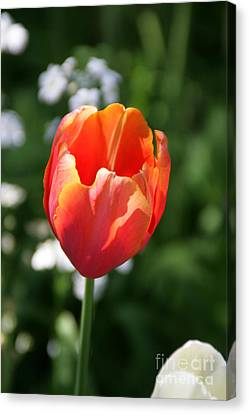 Lit Tulip 02 Canvas Print by Andrea Jean
