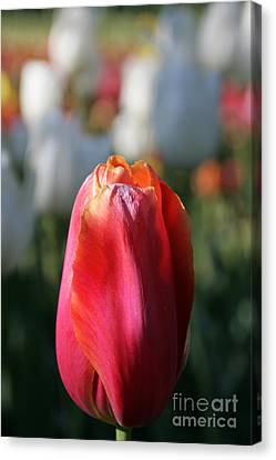 Lit Tulip 03 Canvas Print by Andrea Jean