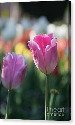 Lit Tulip 05 Canvas Print by Andrea Jean