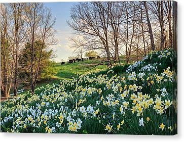 Rural Landscapes Canvas Print - Litchfield Connecticut Daffodil Cows by Bill Wakeley