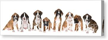 Boxer Canvas Print - Litter Of Boxer Puppies by Diane Diederich