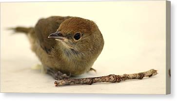 Little Bird 2 Canvas Print by Pierre Van Dijk