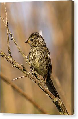 Juvenile Wall Decor Canvas Print - Little Bird On Little Branch by Marv Vandehey