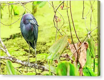 Little Blue Heron At Ollie's Pond Canvas Print