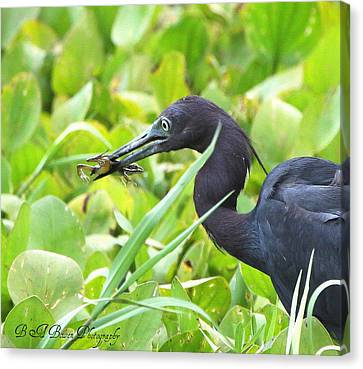 Little Blue Heron Catches A Frog Canvas Print by Barbara Bowen