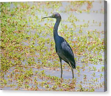 Cabin Window Canvas Print - Little Blue Heron In Weeds by Robert Frederick
