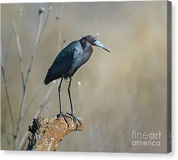 Cabin Window Canvas Print - Little Blue Heron On A Log by Robert Frederick