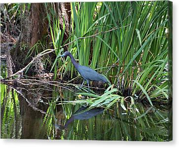 Canvas Print featuring the photograph Little Blue Heron by Sandy Keeton