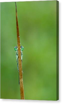 Damselfly Canvas Print - Little Brave Warrior by Roeselien Raimond