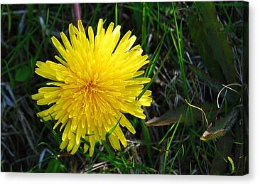 Canvas Print featuring the photograph Little Burst Of Sunshine by Marilynne Bull