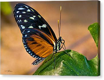 Little Butterfly Canvas Print by Christopher Holmes